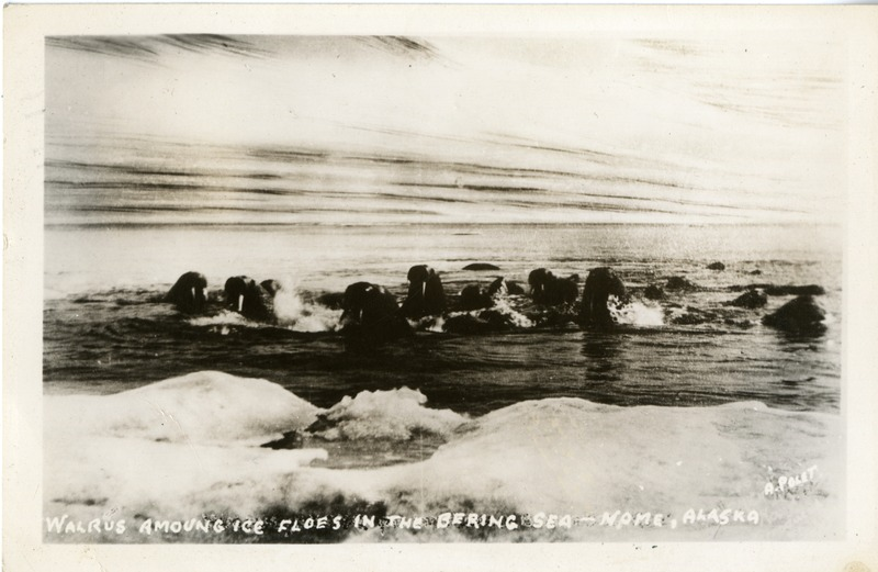 """Walrus among ice flows in the Bering Sea - Nome, Alaska"""