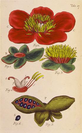 Linnaeus flower