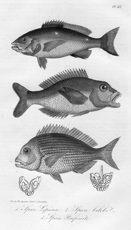 3 Lacepede fish.jpg