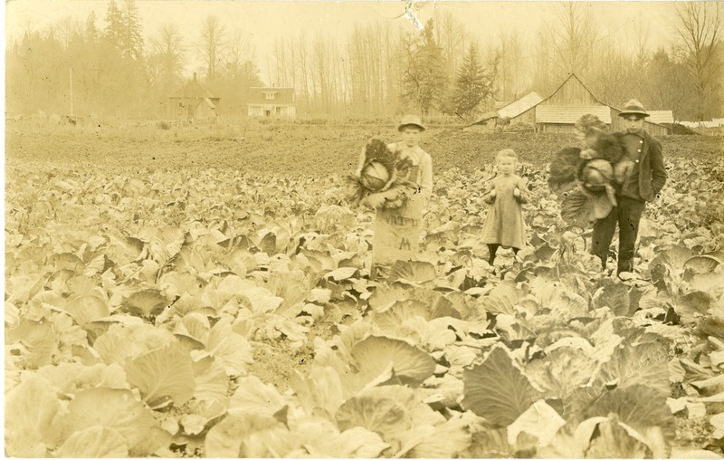 Children harvesting cabbage.